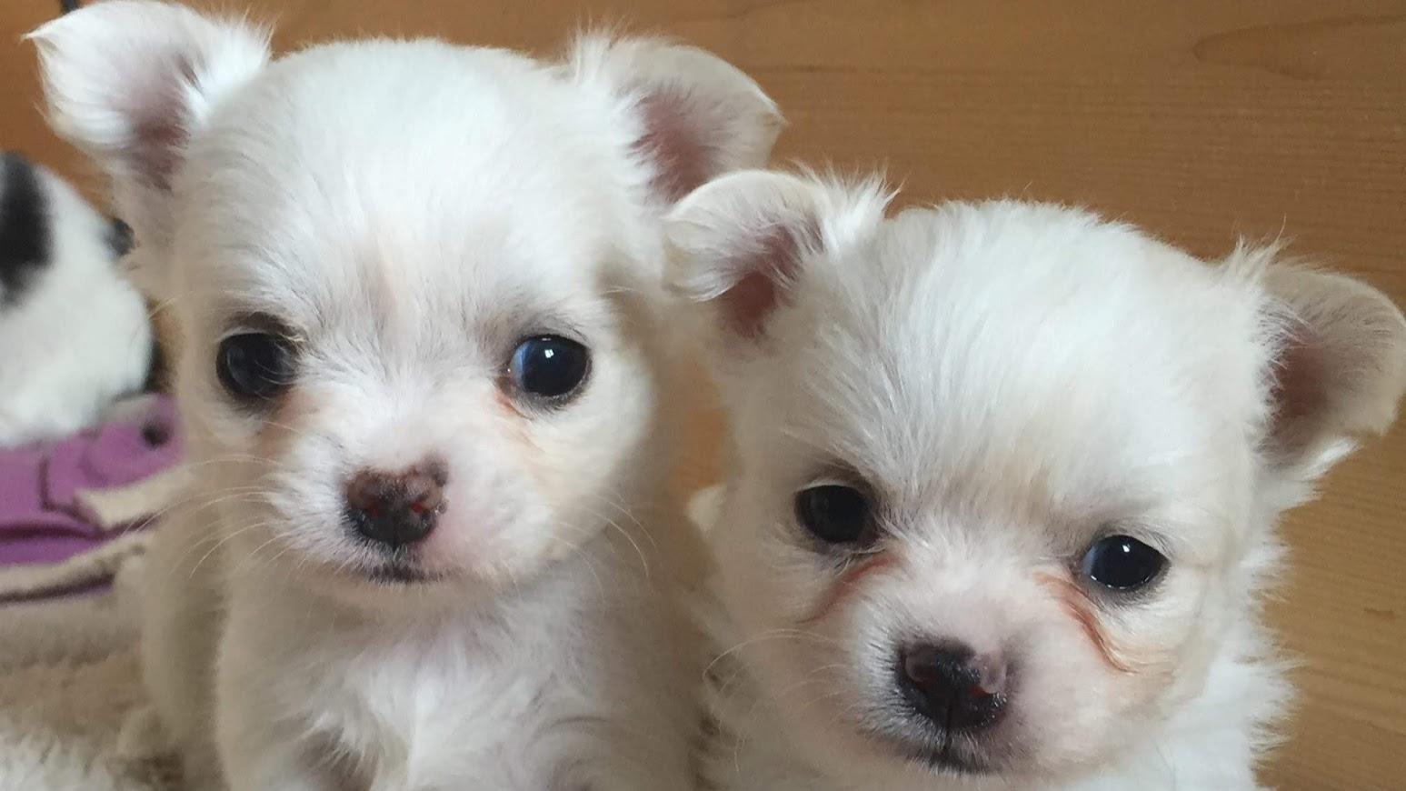 cuccioli dolly